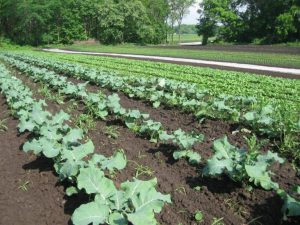 brassicas growing in field at CSA