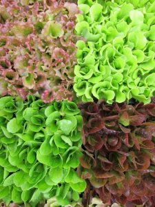 closeup of lettuces growing for CSA