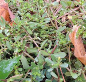 weeds you can eat -- purslane close up