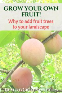 growing fruit trees -- photo of plums ripening on tree with title text