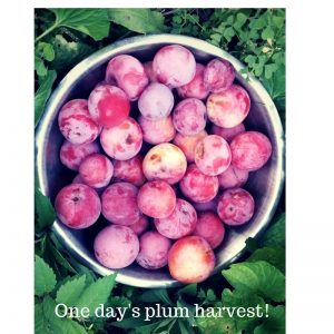 photo of bowl of fresh-picked plums