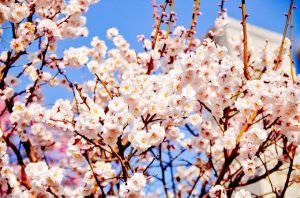 fruit trees -- photo of fruit tree in flower