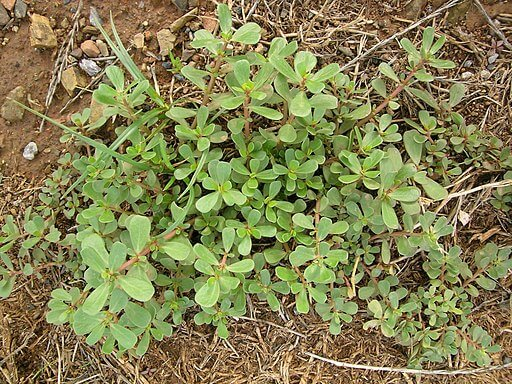 anti inflammatory smoothie ingredient to know: purslane