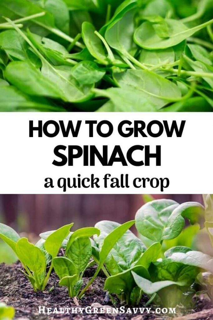 pin with photos of spinach in a bowl and growing in garden