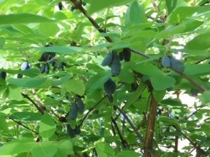 Grow food everywhere: Honeyberries are an attractive landscape plant that also produce the first berries of the season.