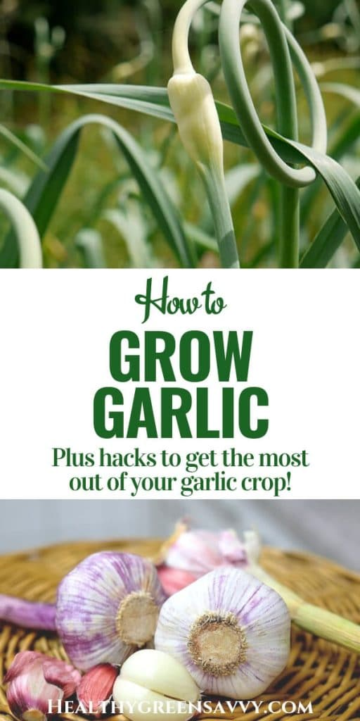 How to grow garlic -- pin with closeup of garlic scapes and bulbs
