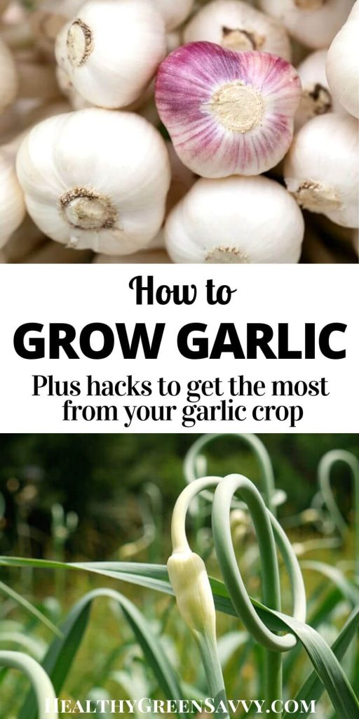 pin with title text and photos of garlic scapes and bulbs