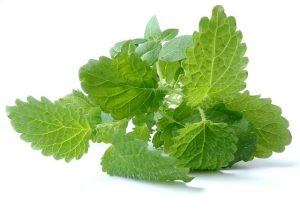photo of lemon balm sprig
