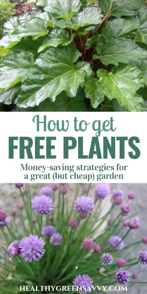 free plants -- pin with photos of rhubarb and chives with title text
