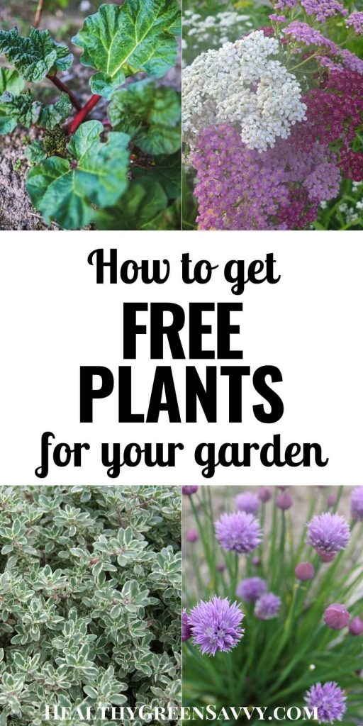pin with with title text and photos of plants you can get for free: rhubarb, yarrow, variegated thyme, and chives