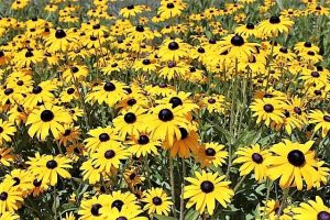 photo of blackeyed susans