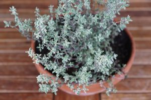 photo of variegated thyme