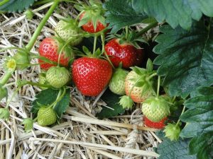 photo of strawberries growing