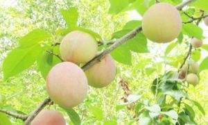 lawn alternatives include food gardens-- closeup of plums ripening on tree