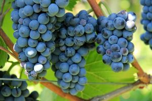 photo of grape bunches growing on vine