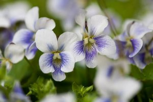 closeup of violets, an edible weed
