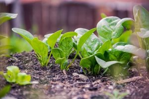 How to grow spinach -- photo of spinach growing in soil