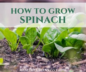 How to grow spinach -- cover with photo of spinach growing in dirt and title text