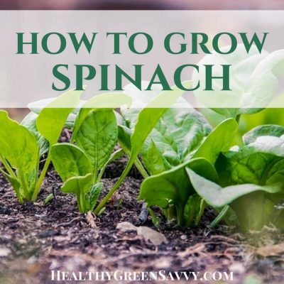 How to grow spinach: Plant plenty of spinach in your garden this season! Aside from the fact that there's not a lot that will grow when it's still cold, spinach is so nutritious and versatile, you'll be glad you planted lots of it! #growingspinach #gardening #gardentips #greens #easygardencrops