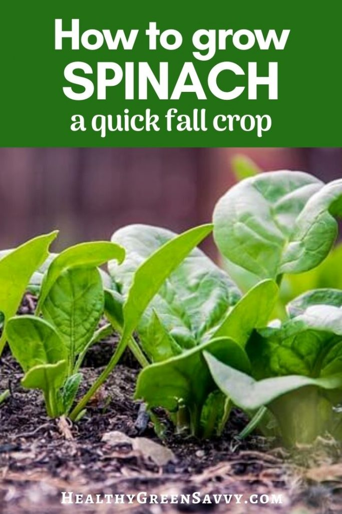 pin with title text and photo of spinach growing in dirt