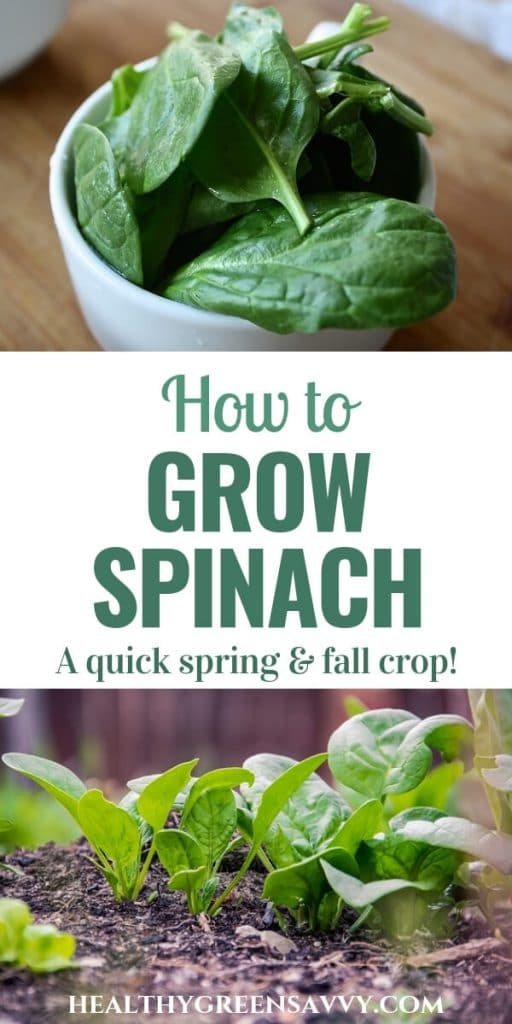 How to grow spinach -- pin with photos of spinach in a bowl and growing in garden