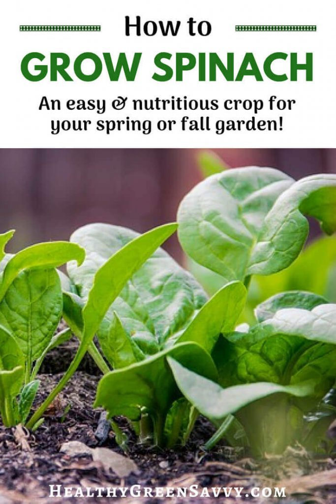 How to grow spinach: Plant plenty of spinach in your garden this season! Aside from the fact that there's not a lot that will grow when it's cold, spinach is so nutritious and versatile, you'll be glad you planted lots of it! #growingspinach #gardening #gardentips #greens #easygardencrops #superfoods #growfood