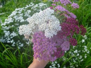 yarrow uses