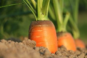 vegetables that grow in shade -- closeup of carrot growing in soil
