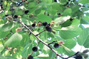 mulberries growing on tree