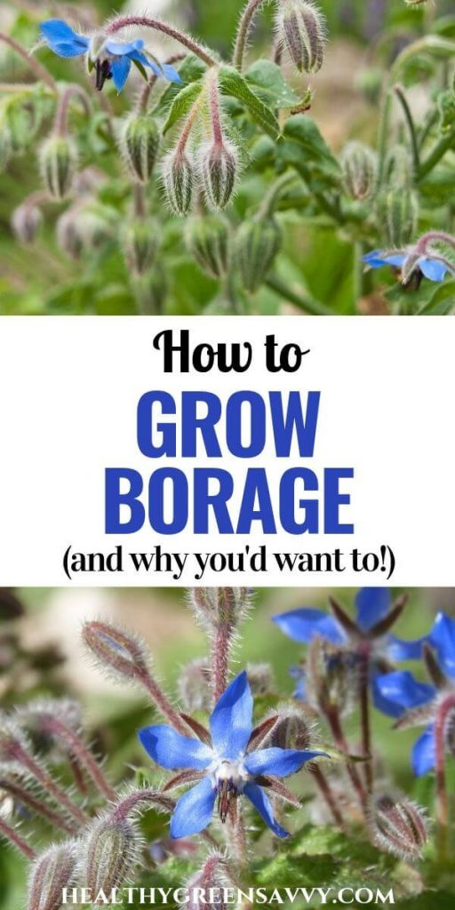 pin with photos of borage flowers and title text