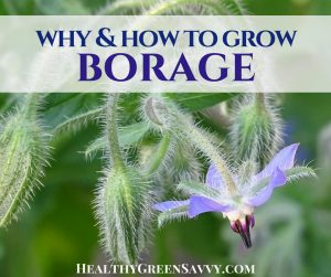 borage plant -- cover with photo of borage flowers and title text overlay