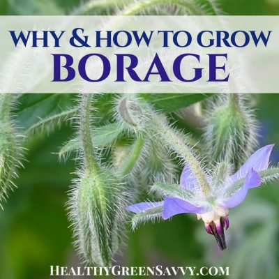 Borage plant is easy to grow, attracts pollinators like crazy, is tolerant of poor soils and neglect, and can be used as a vegetable and medicinal herb, while the flowers make a stunning edible garnish. Much to recommend! #borage #ediblelandscaping #medicinalherbs #herbalmedicine #ediblegardening #gardeningideas #borageplant #borageflowers #edibleflowers