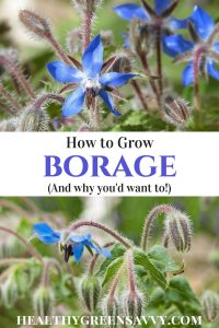 borage plant -- pin with photos of borage flowers and title text