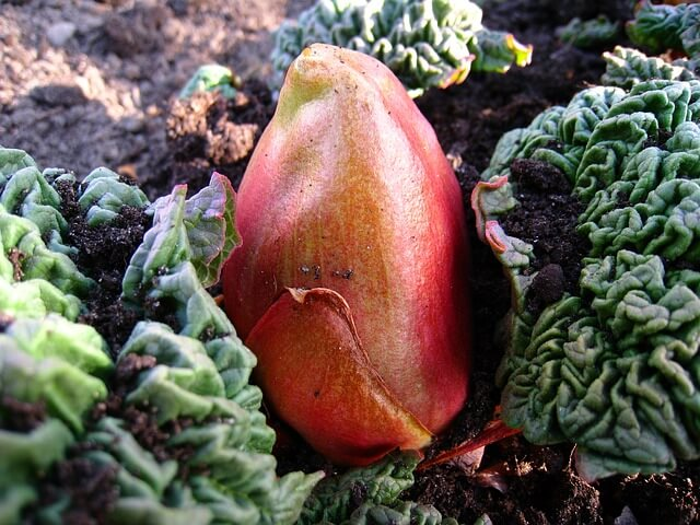 photo of rhubarb bud
