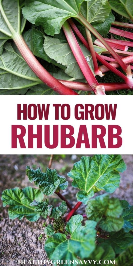 pin with photos of rhubarb stalks and plant growing in the garden with title text