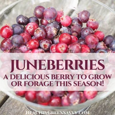 cover photo of bowl filled with juneberry serviceberry or saskatoon berry with title text overlay