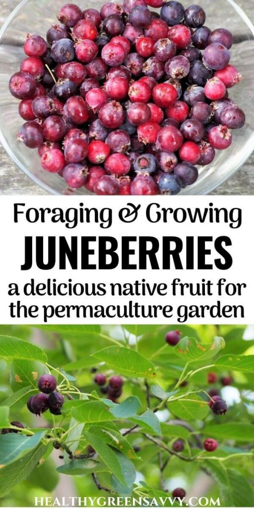 pin with title text and photos of berries growing on branch and bowl filled with juneberry