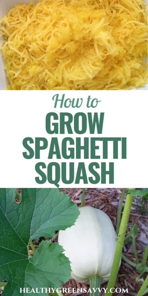 pin with photos of cooked spaghetti squash and growing spaghetti squash on vine with title text overlay