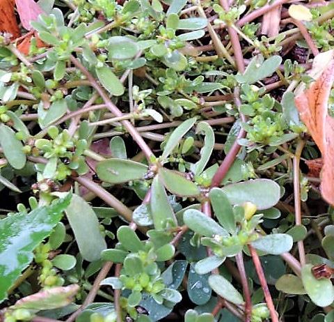 purslane recipes: closeup of purslane growing