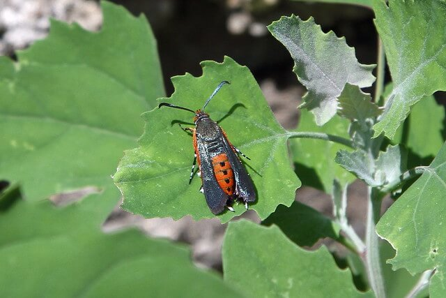 photo of squash vine borer moth on leaf