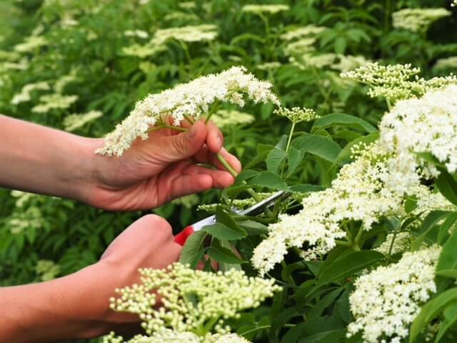 photo of hands cutting off cymes from elderflower plant