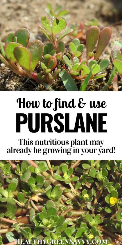 verdolaga purslane recipes pin with title text and photos of purslane growing