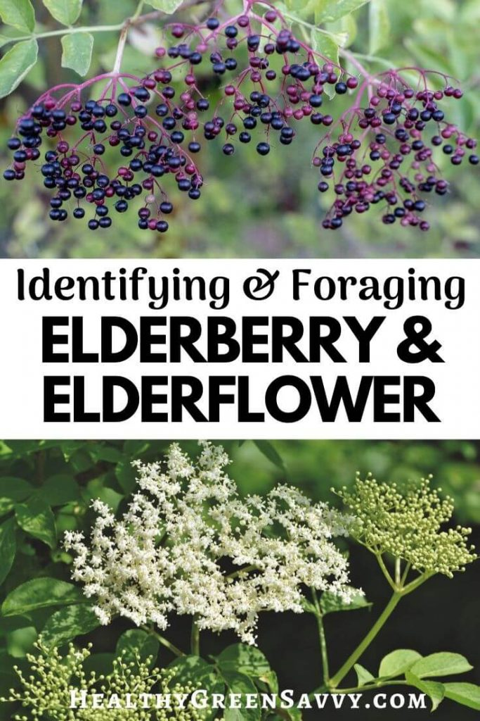 elderberry identification pin with title text and photos of elderberries and elderflowers growing