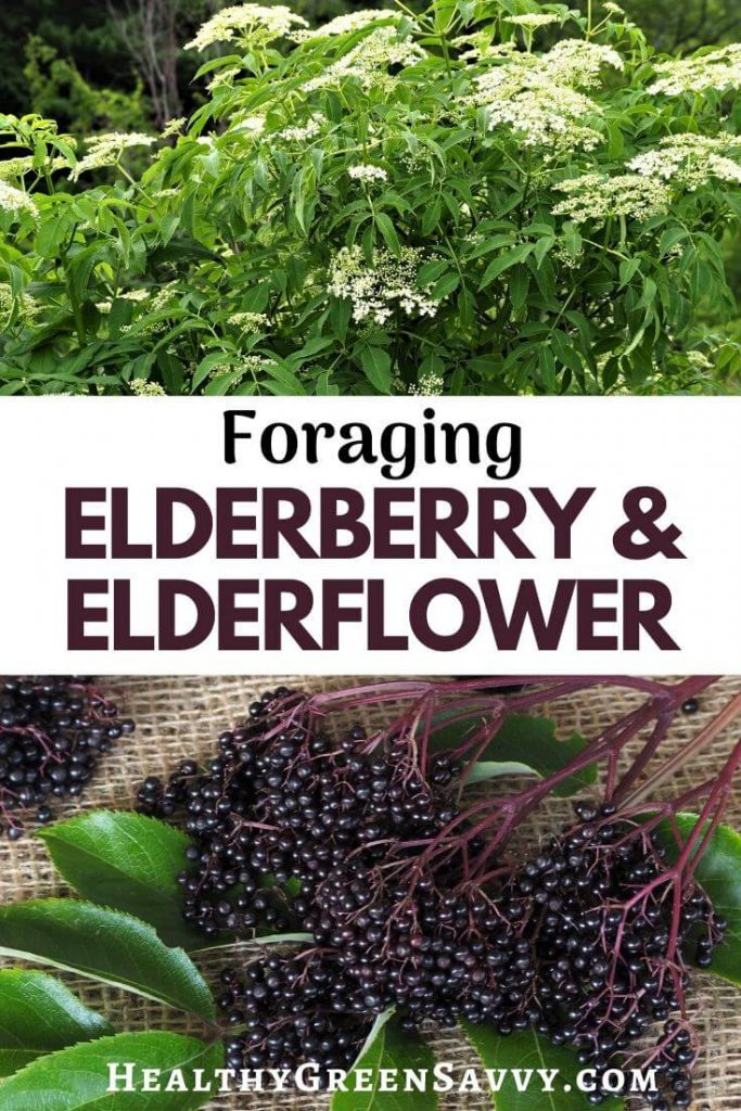 elderberry identification: pin with photo of elderflowers and elderberries with title text