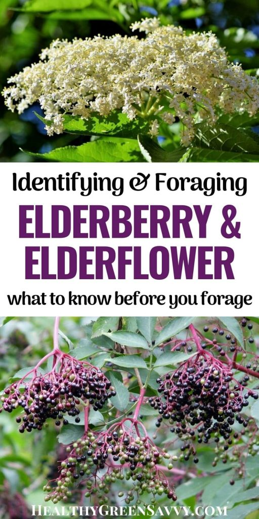 pin with photos of elderberries and elderflowers growing on elderberry plant plus title text