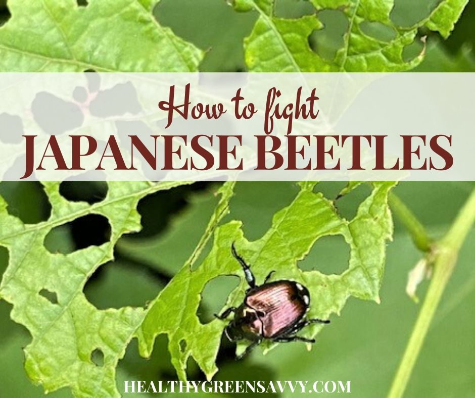How to Get Rid of Japanese Beetles Before They Destroy Your Garden