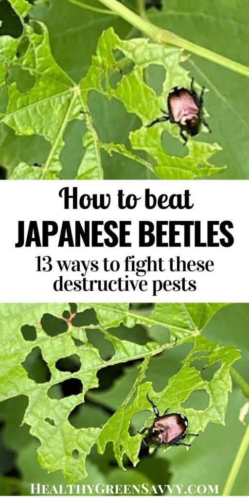 pin with title text and photos of Japanese beetles on chewed up grape leaves