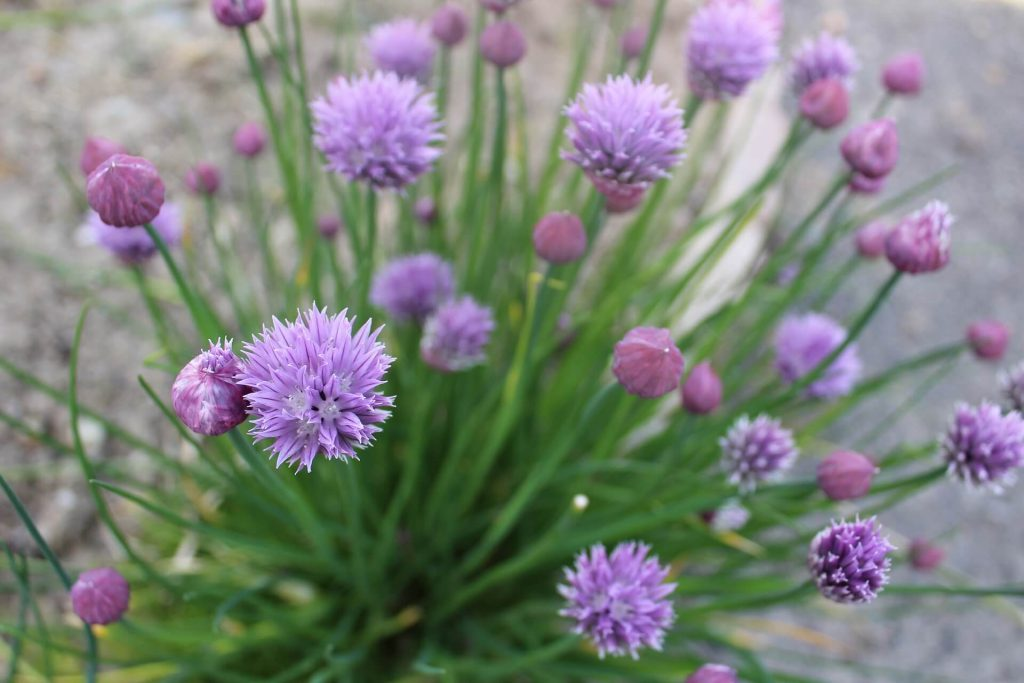photo of purple chive flowers