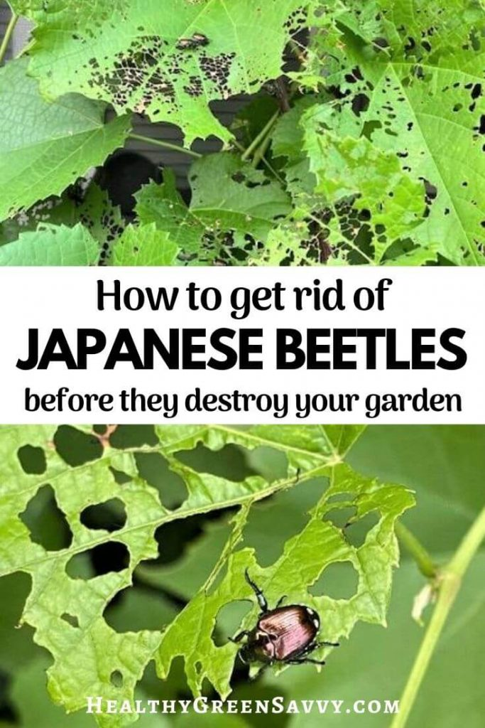 pin with title text and photos of Japanese beetle on chewed grape leaves