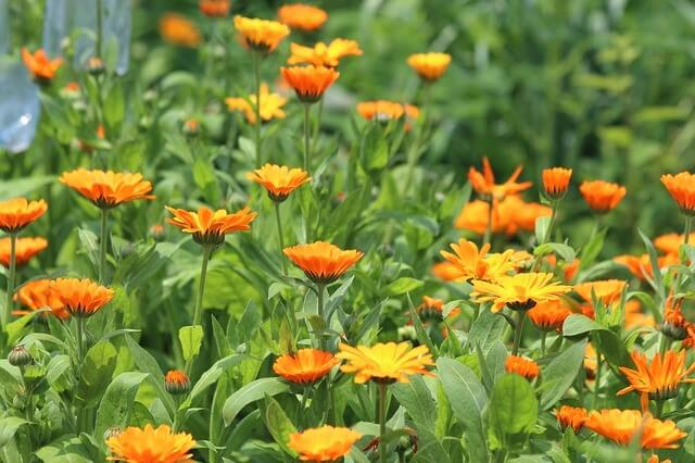 photo of calendula, a medicinal herb that grows in shade